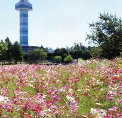 コスモス畑など秋の花がテーマの「秋の花物語」