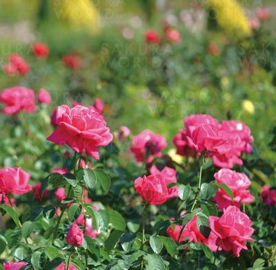 花フェスタ記念公園「秋のバラまつり」