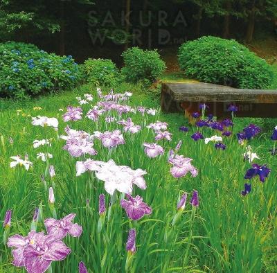 しっとりと優美に咲く心癒す花菖蒲の風景