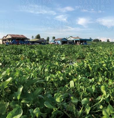 カンボジアのトンレサップ湖のホテイアオイ。爆発的に繁殖し、水上生活者の交通や漁に影響を与えている。ホテイアオイが価値ある資源になれば、水上生活者による収穫の仕事にもつながる。